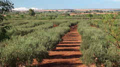 Olive plantation in Sicily, Italy. Stock Footage