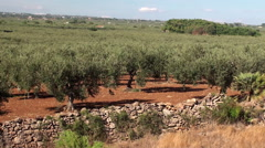 Stock Video Footage of Olive plantation in Sicily, Italy.