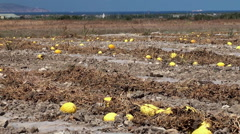 Ripe melon on the plantation in Sicily, Italy. Stock Footage