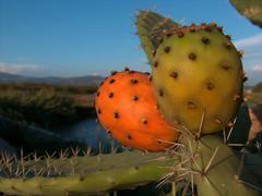 Prickly pear - stock photo