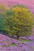 blooming heath in dutch national park veluwe - stock photo