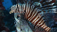 Dendrochirus Zebra. Andaman Islands Sea, India Stock Footage