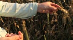 picking ears of rye - stock footage