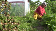 Blackberry grow and farmer woman weed strawberry plants Stock Footage