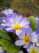 Primula vulgaris Stock Photos