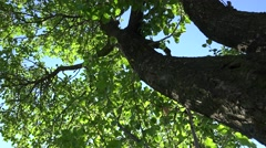 ULTRA HD 4K Beautiful old trunk forest tree green leaf blue sky nature sunny day Stock Footage