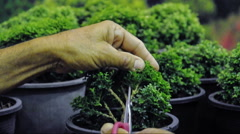 Hand cutting a bonsai tree Stock Footage