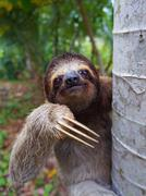 Portrait of brown-throated sloth on a tree Stock Photos