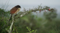 4K+ R3D - Burchells Coucal - calling on branch at dawn. Nature bird africa Stock Footage