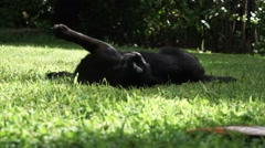 Cat rolling around in the grass Stock Footage
