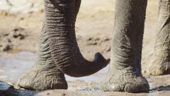 4K+ R3D - African Elephant - close shot of trunk and legs. Safari wild uhd Stock Footage