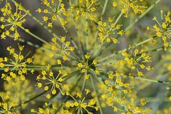 Inflorescence dill - stock photo