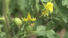Woman farmer hand verify green unripe tomato bio garden farm vegetable food day  Stock Footage