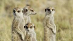 4K+ R3D - Meerkat - group of 4 standing sentinal, close up. Africa mammal cute Stock Footage