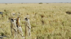 4K+ R3D - Meerkat - group of 4 standing sentinal, wide. Africa mammal cute Stock Footage