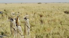 4K+ R3D - Meerkat - group of 4 standing sentinal, wide. Africa mammal cute Stock Footage