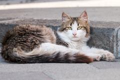Very beautiful sicilian cat - stock photo