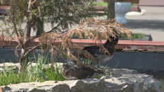 Romantic wood duck bird couple relax rock tree plant lake sunny day wild habitat Stock Footage