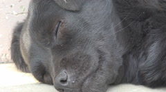 Beautiful portrait dog sleeping closeup animal head laying summer day domestic - stock footage