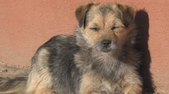 Adorable small pet sleep sitting sunny summer day domestic brown fur puppy dog   Stock Footage
