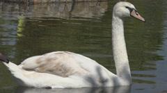 Beautiful swan float lake water summer hot day wildlife habitat graceful elegant Stock Footage