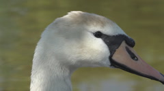 Closeup white swan head long neck beautiful wild bird lake summer habitat day Stock Footage