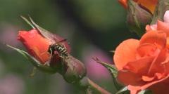Insect bee gather pollen honey orange rose flower summer season wild bug day Stock Footage