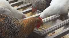 Group chicken eat grain country yard rural farm organic hatchery domestic day  Stock Footage