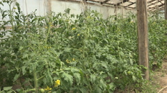 View organic greenhouse rural farm green tomato unripe plant day harvest garden Stock Footage