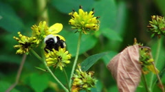 Bumblebee Flight Takes a Tumble Slow Motion Stock Footage