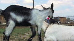 Baby goat climbing on adult goat on goat farm - agriculture Stock Footage
