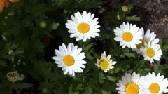 Daises close up Stock Footage