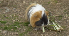 Brown guinea pig  Stock Footage