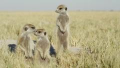 4K+ R3D - Meerkat - group of 3 standing sentinal, preening, medium from front Stock Footage