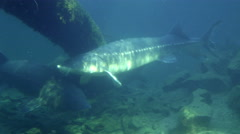Sturgeon, Fish, White Sturgeon, Prehistoric, 4K, UHD Stock Footage