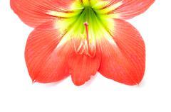 amaryllis hippeastrum isolated on white background, star lily - stock photo