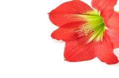 Amaryllis hippeastrum isolated on white background, star lily Stock Photos