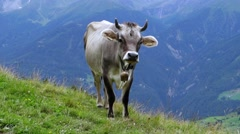 Cow in mountains Stock Footage