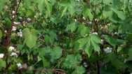 Stock Video Footage of 4K Cotton Plants Early Bloom