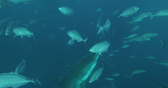 Great White in 2k Stock Footage