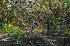 Side view of Jaguar in Pantanal walking through the forest Stock Photos