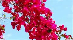 Beutiful pink flowers bouganvillea on blue sky Stock Footage
