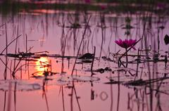 Pink lotus with reflection sunrise Stock Photos