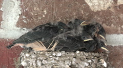 Young Barn Swallow birds in nest 4K Stock Footage