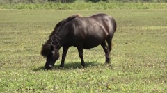 Shetland pony in Zeeland, living on a island in Holland Stock Footage