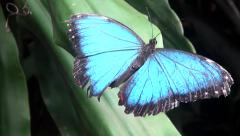 Blue Morpho Butterfly (Morpho Peleides) in the Netherlands Stock Footage
