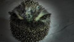 Stock Video Footage Charming hedgehog ball of needles Stock Footage
