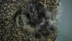 Stock Video Footage Hedgehog macro Stock Footage