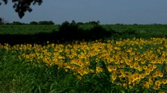 Sunflower field in India - stock footage
