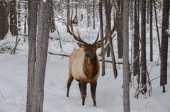 Horned Elk in Snowstorm Stock Photos